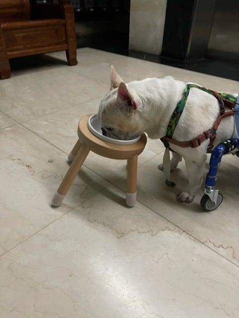 French bulldog feeding station
